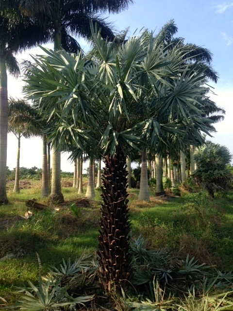 Copernicia Alba Palm - Pahokee Palms Wholesale Growers