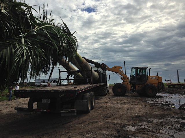 field-grown palms-Pahokee Palms Wholesale Growers Delivery Options