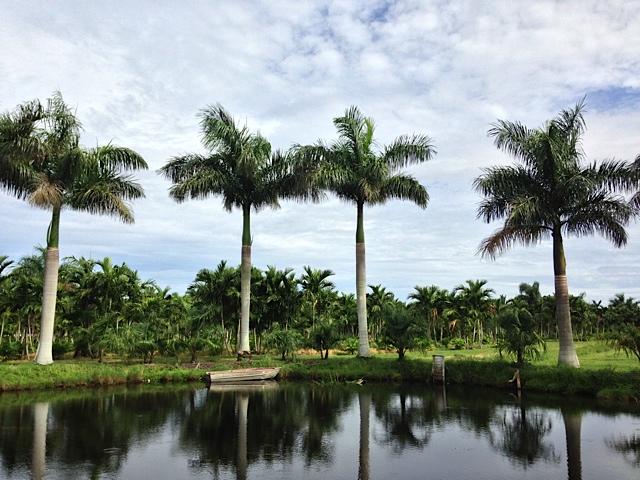 field-grown palms-Pahokee Palms Wholesale Growers