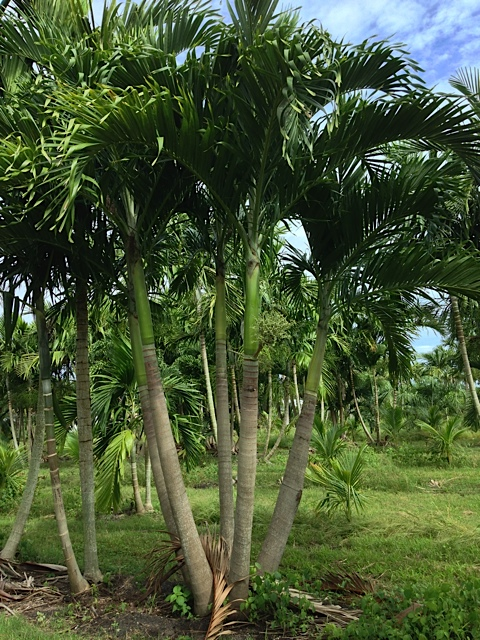 Adonidia Palm - Pahokee Palms Wholesale Growers