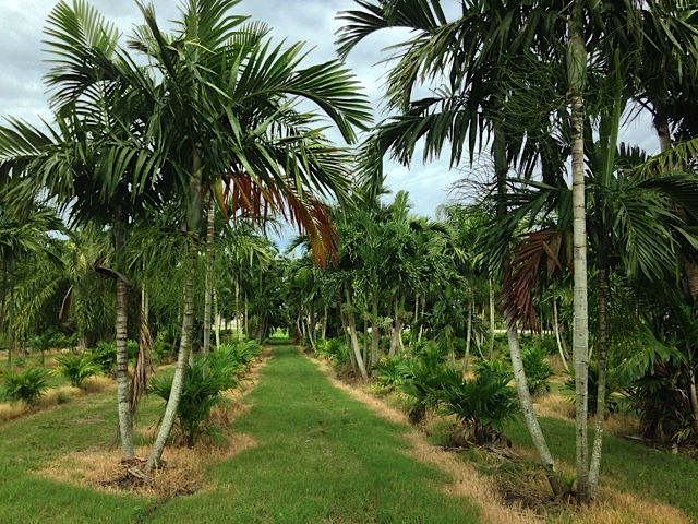 Alexander Palm - Pahokee Palms Wholesale Growers