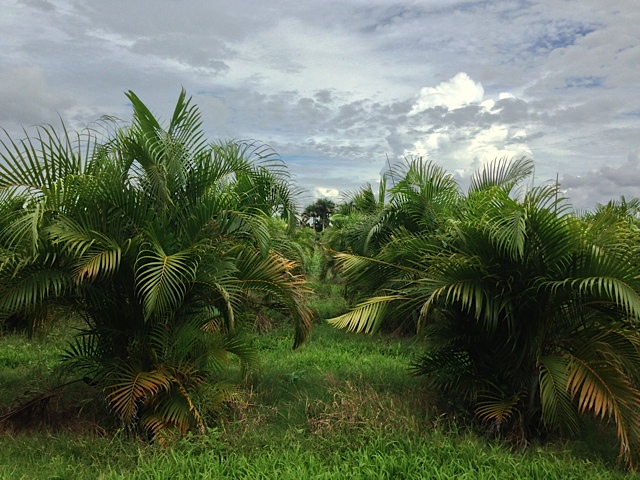 Areca Palm - Pahokee Palms Wholesale Growers