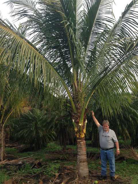 Coconut Palm - Pahokee Palms Wholesale Growers