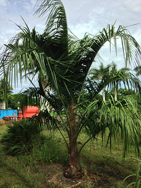 Mule Palm - Pahokee Palms Wholesale Growers