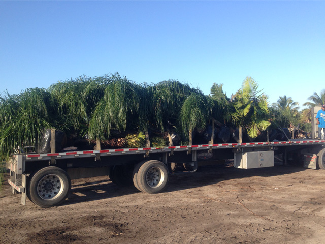 field-grown palms-Pahokee Palms Wholesale Growers Deliveries