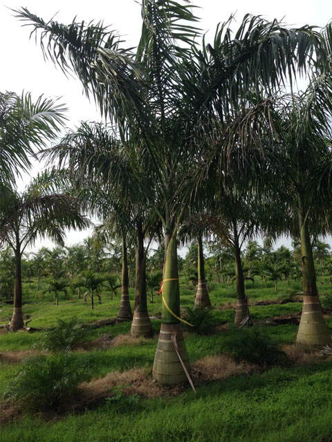 Royal Palm - Pahokee Palms Wholesale Growers