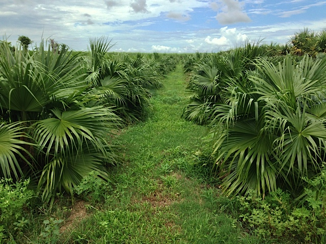 Chinese Fan Palm - Pahokee Palms Wholesale Growers