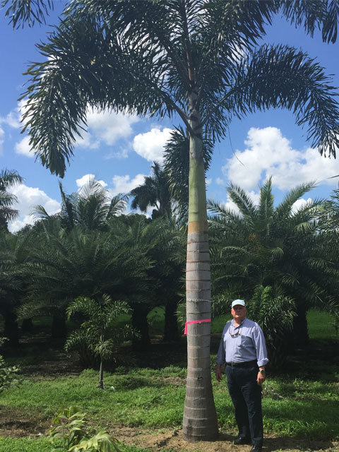 Foxtail Palm - Pahokee Palms Wholesale Growers